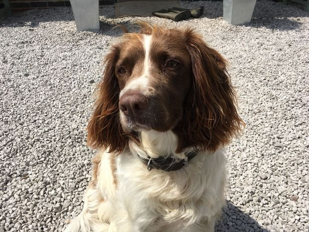 Ted the springer spaniel alerted his owners to the farm at the Yoxall farm (Image: Jenny Moody)