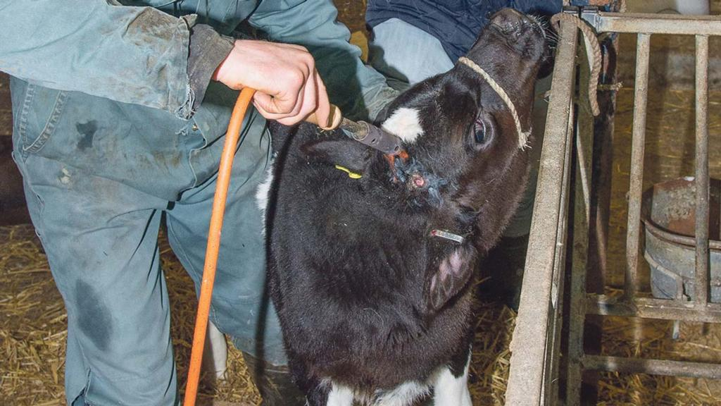 Breeding and calves special: Best practice for disbudding calves