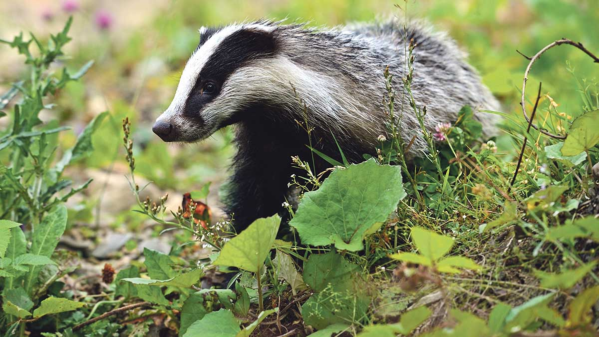Is Wales' badger cull failing? Report reveals five badgers culled, costing £383,212