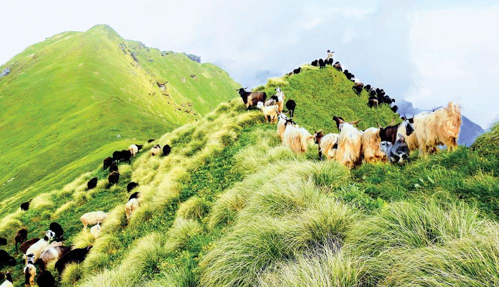 Ag in my land: Shepherding in the Himalayas