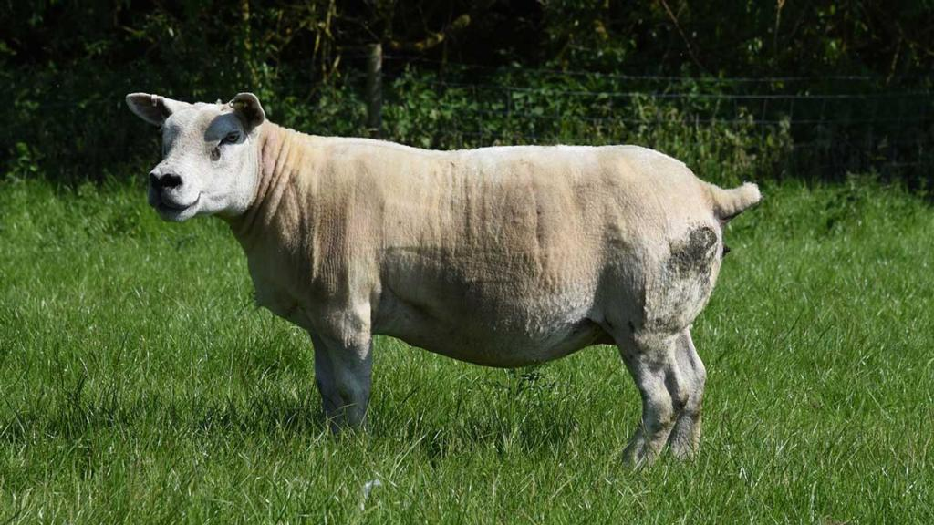 There are 35 pedigree Texel ewes.
