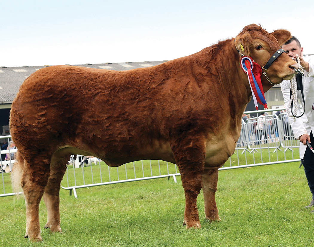 Beef inter-breed reserve champion Foxhillfarm Minesagin from Michael and Melanie Alford, Cullompton.