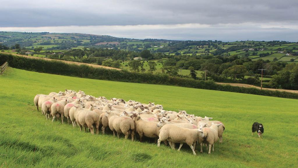 Vets call for ban on non-stun meat exports after controversial Saudi lamb deal
