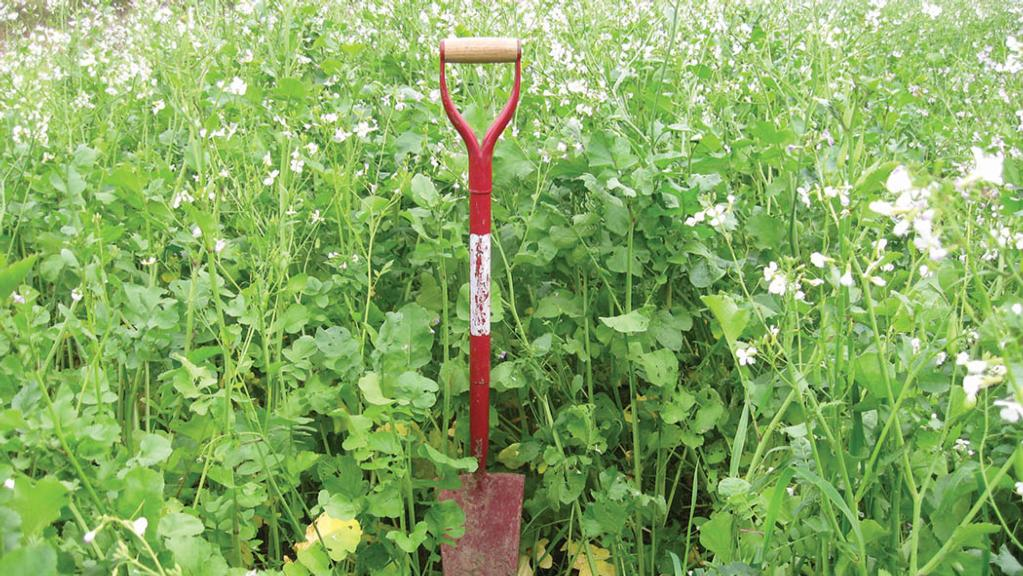 Autumn weather drives cover crop value