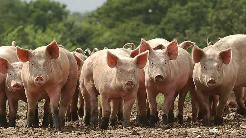 Scottish Specially Selected Pork given derogation to be produced at English abattoir in CO2 crisis