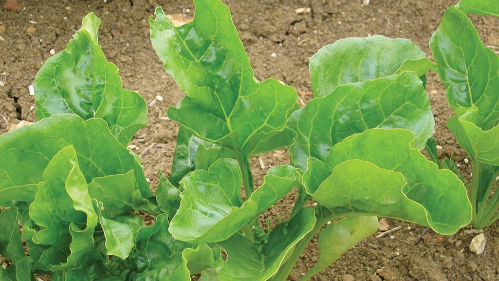 Early drilled beet is high risk despite good conditions and soil temperatures rising