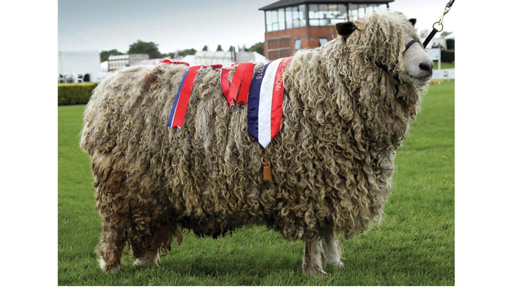 Lincoln Longwool breed champion, a ram from M.D. and J. Coney, Grantham.