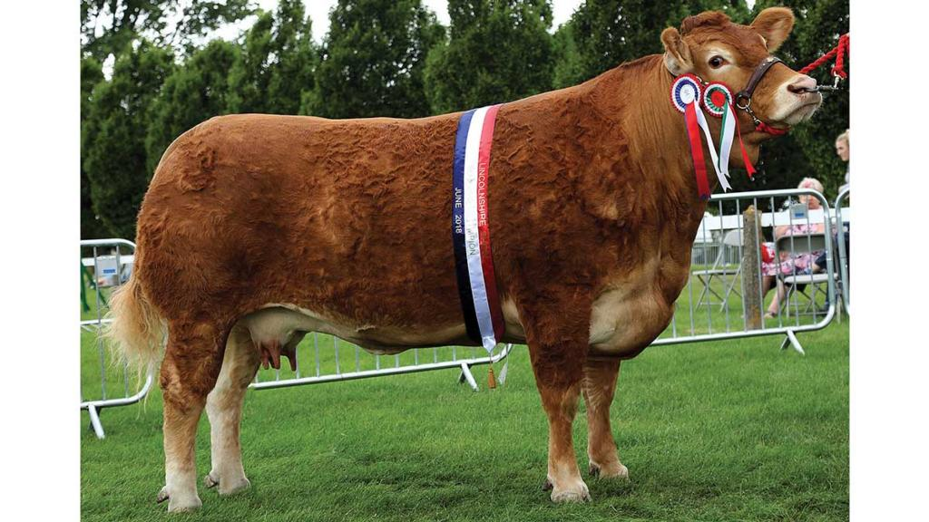Inter-breed beef champion, Burnbank Jenny, from A. Padfield and P. Barwood, Great Yarmouth.