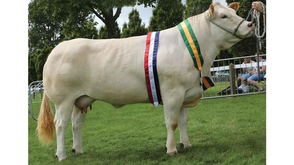Inter-breed beef reserve champion, Everingham Judy, from N.T. and J.A. Barrett, York.