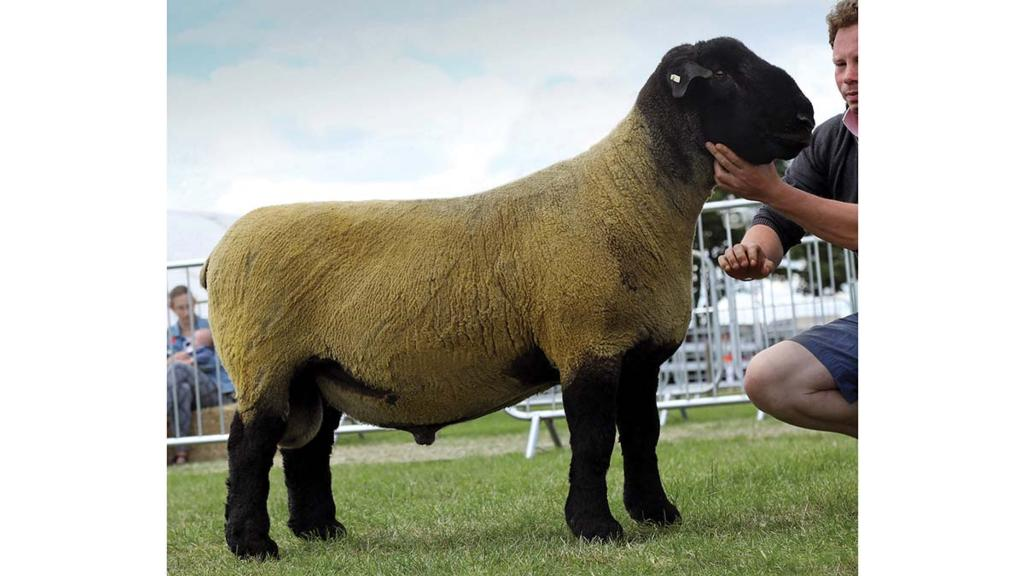 Inter-breed sheep champion, a Suffolk ram from Jeff and Christopher Riby, Bridlington.