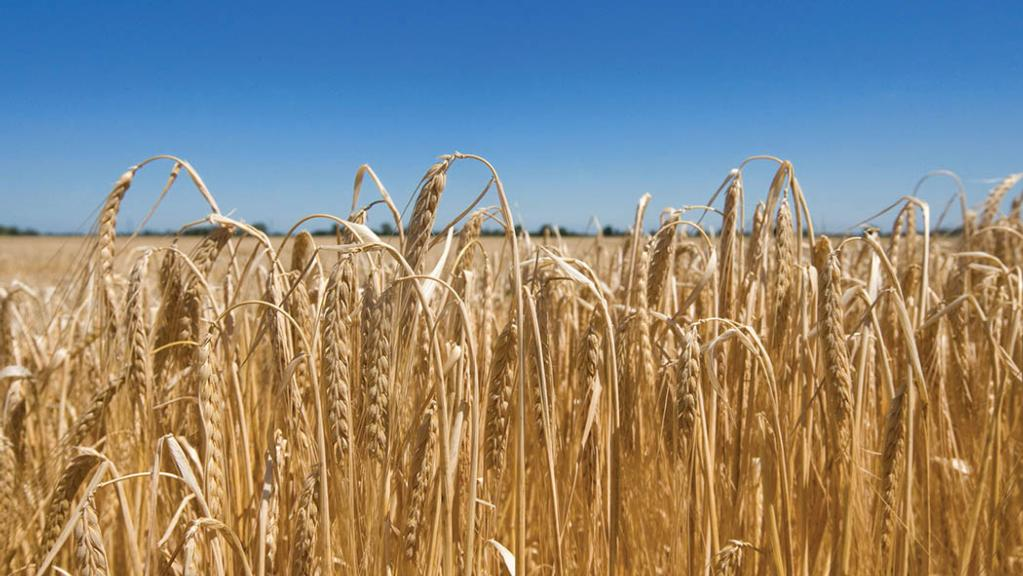 First RL harvest results show above-average winter barley yields