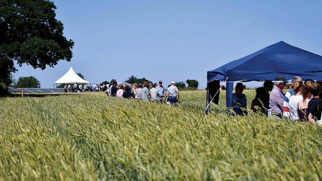 Organic farms put wheat varieties to the test