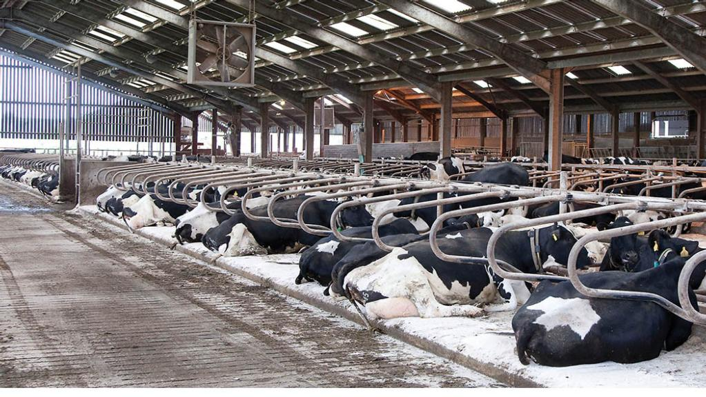 How to minimise heat stress in dairy cattle