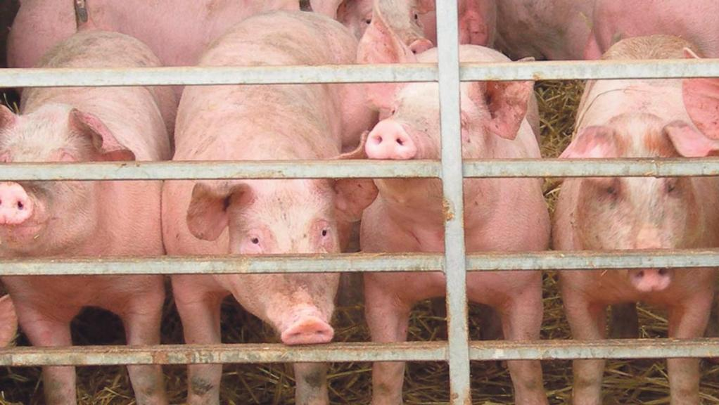 International issues weigh on pig markets alongside supply increase