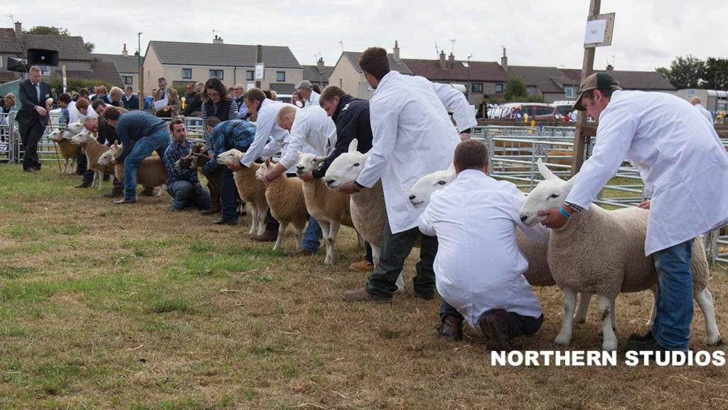 Sheep judging at Caithness county show