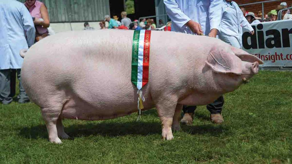 ROYAL WELSH SHOW: British Lop sow wins pig inter-breed