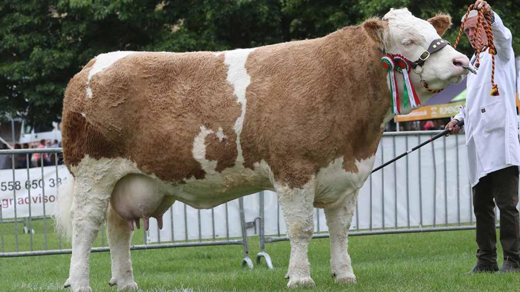 Simmental champion, Sterling Petra's Cairo, from Paul and Judy Borlase, Stevenage