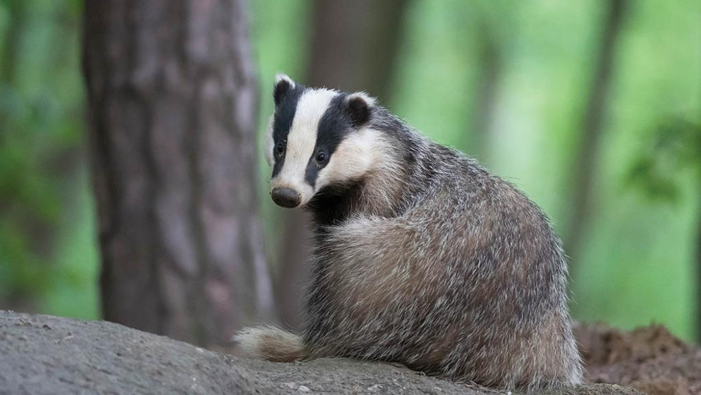 Only 3 per cent of respondents to badger cull consultation from farming groups