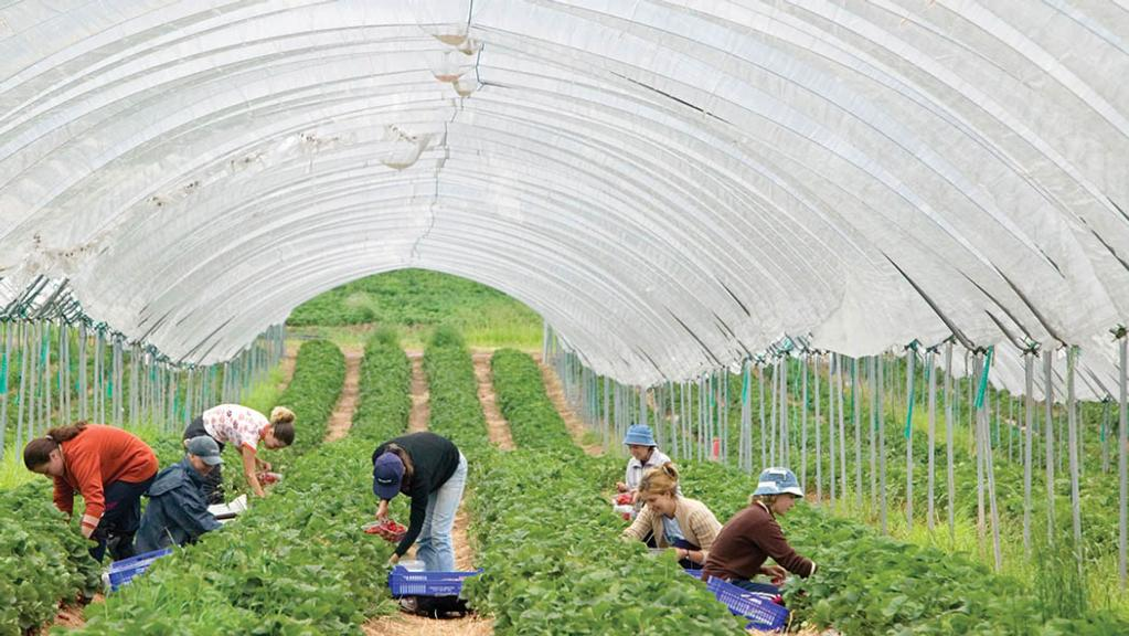 Growers left 'high and dry' due to seasonal workers' visa delays