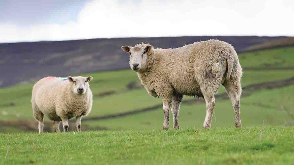 Prioritise ewes to optimise performance at tupping time