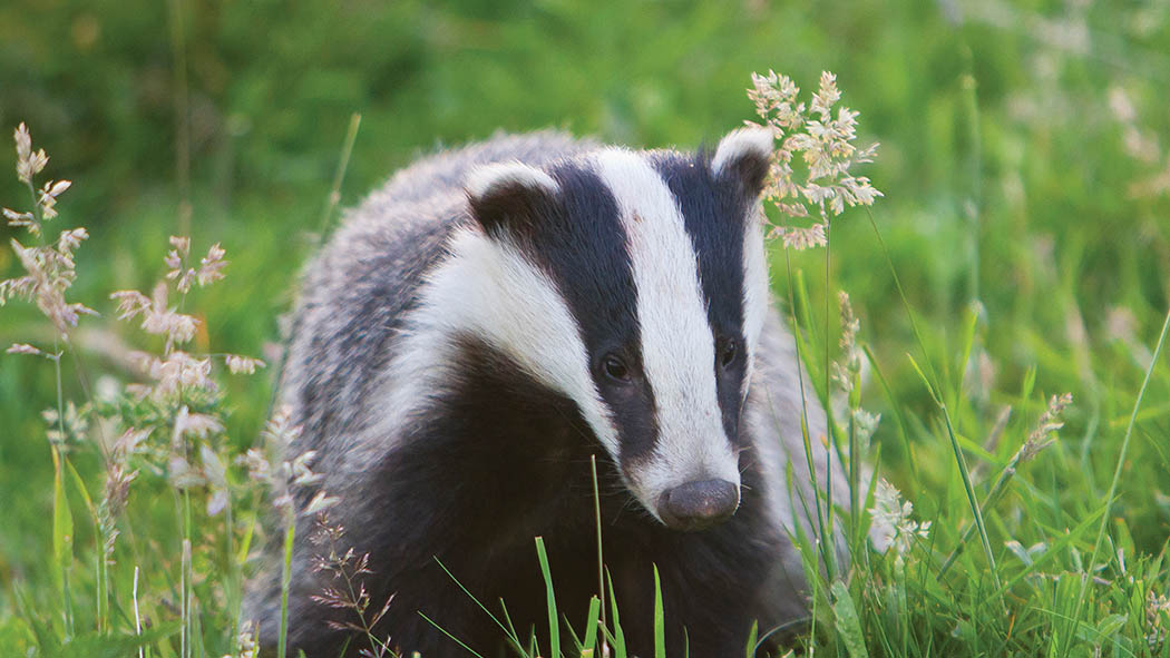 Badger group plans to reveal contact details for all cull company directors