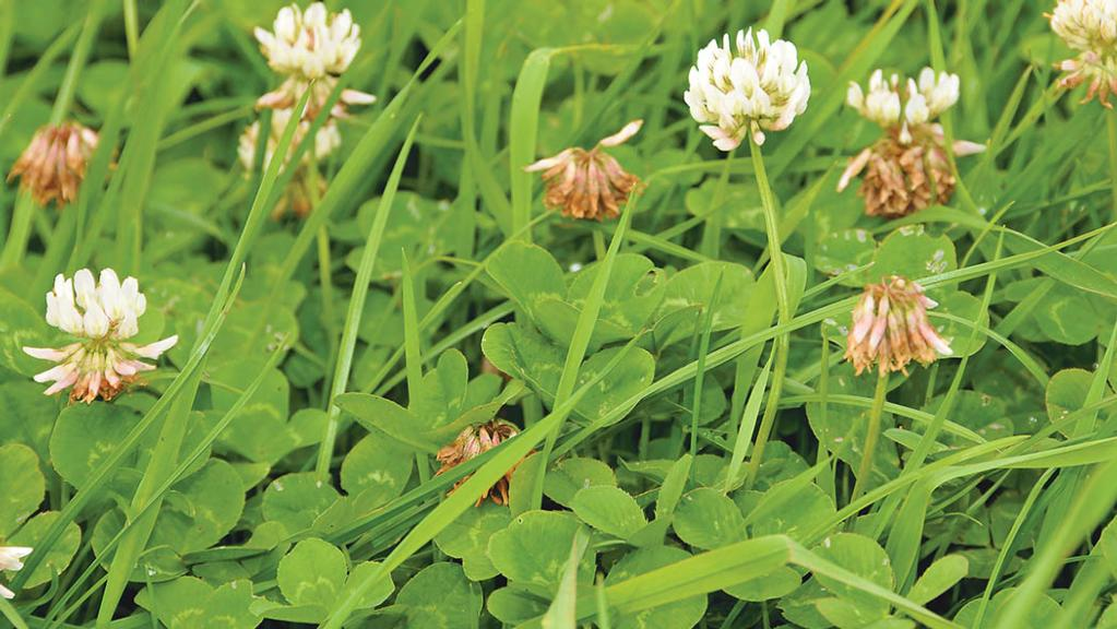 Grass and silage: Keep faith with white clover