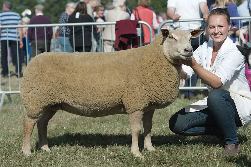 Inter-breed sheep and Charollais champion, Loanhead Riverdance, from the Ingram family, Logie Durno.