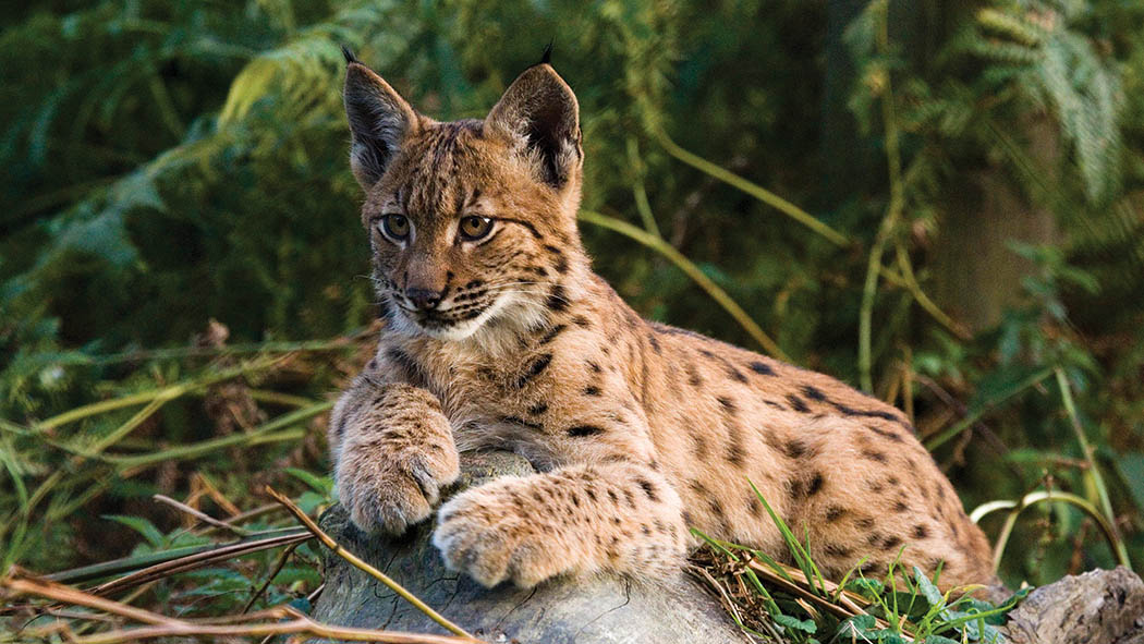 NSA disputes claims local landowners are on board with lynx release