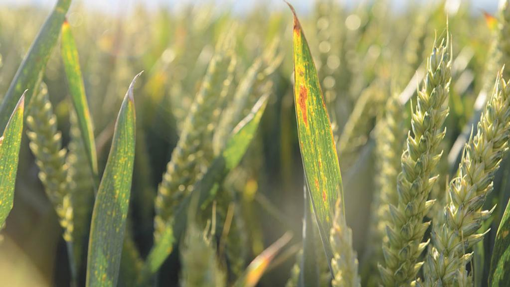 BYDV research for cereals to receive three-year funding boost
