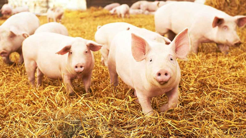 RSPCA and CIWF demand ban on CO2 stunning for pigs by 2024