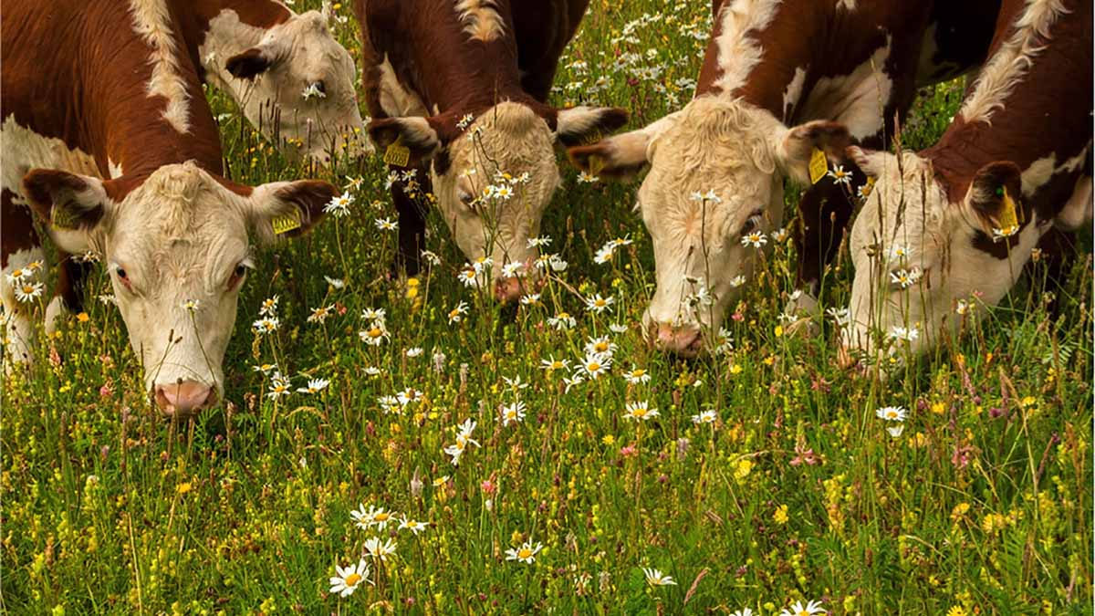New film shows health and taste benefits of pasture fed livestock