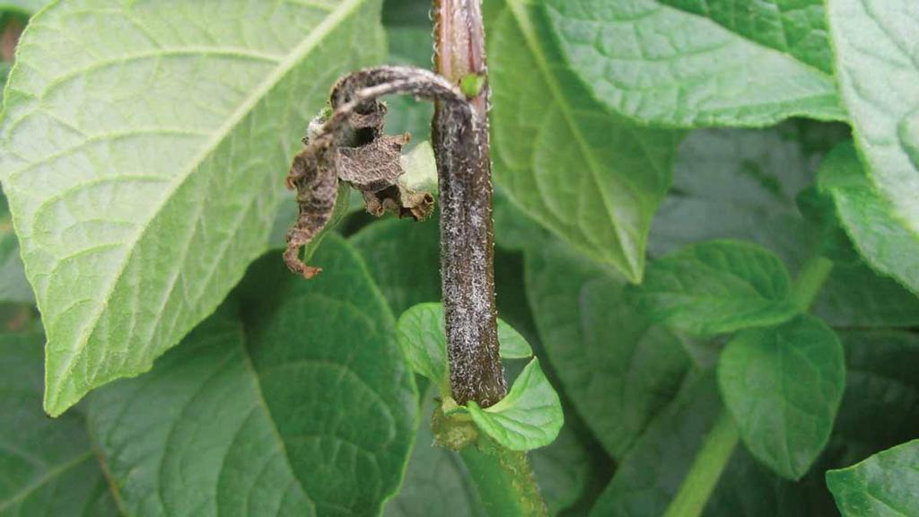 Potato late blight outbreaks confirmed