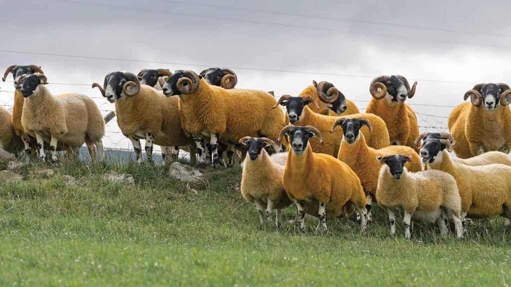 Ewes typically have four crops of lambs, but the best breeders are kept for longer.
