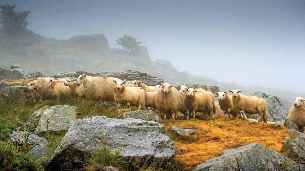 Welsh Mountain sheep are bred to survive the harshest conditions