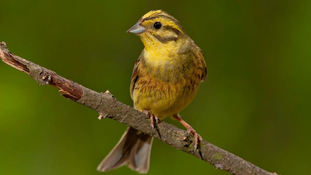 Farmers boost yellowhammer numbers by 78 per cent, new study shows