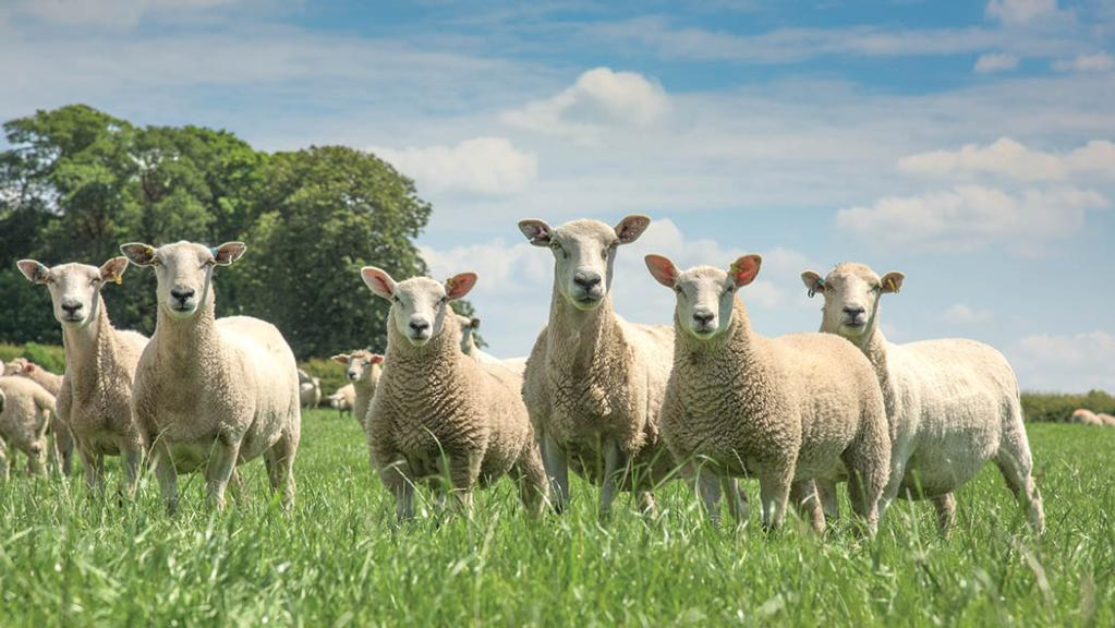 Lamb producers meet challenge of all-year-round production