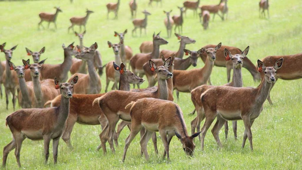 Scotland launches first ever venison strategy