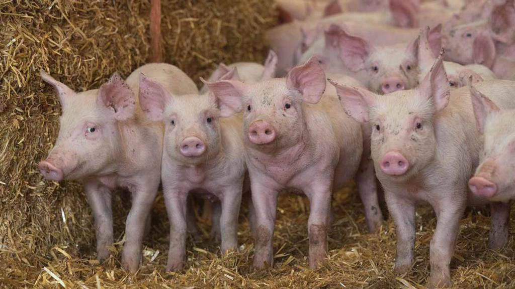 Antibiotics special: Pig industry on target in reducing antibiotic use