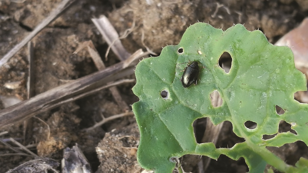 Improving crop tolerance to pest attacks