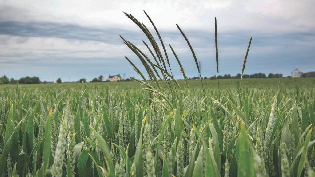 Survey highlights growers' black-grass tactics