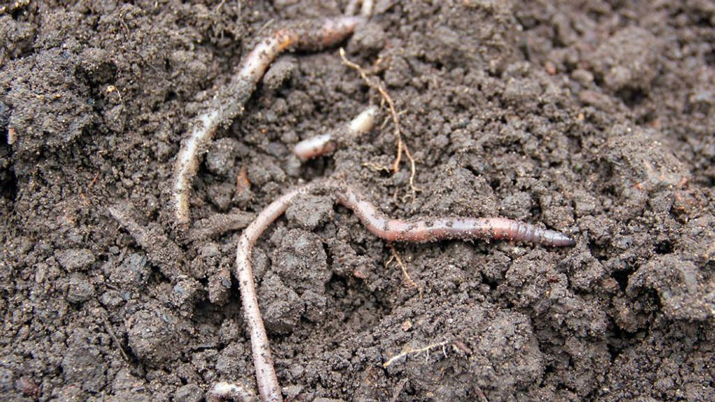 Absence of deep burrowing worms concerning in study of England's farmland