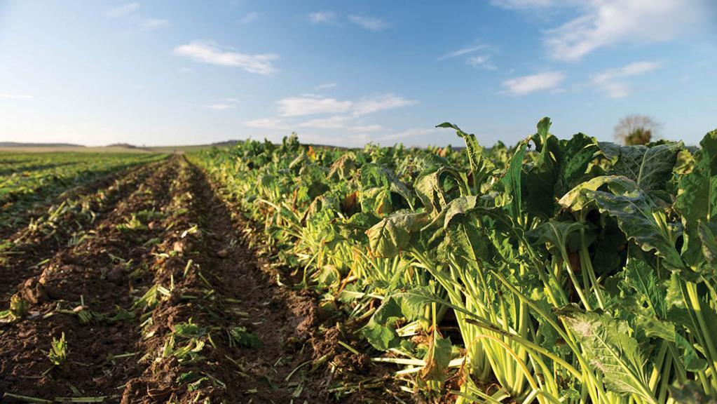 British Sugar will look to offer long-term deals to sugar beet producers again