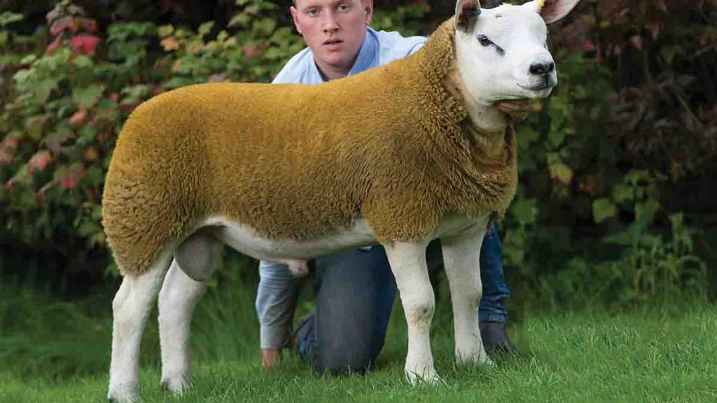 Sale leader and pre-sale champion, Sportsmans Batman, from Messrs Boden and Davies, Stockport.