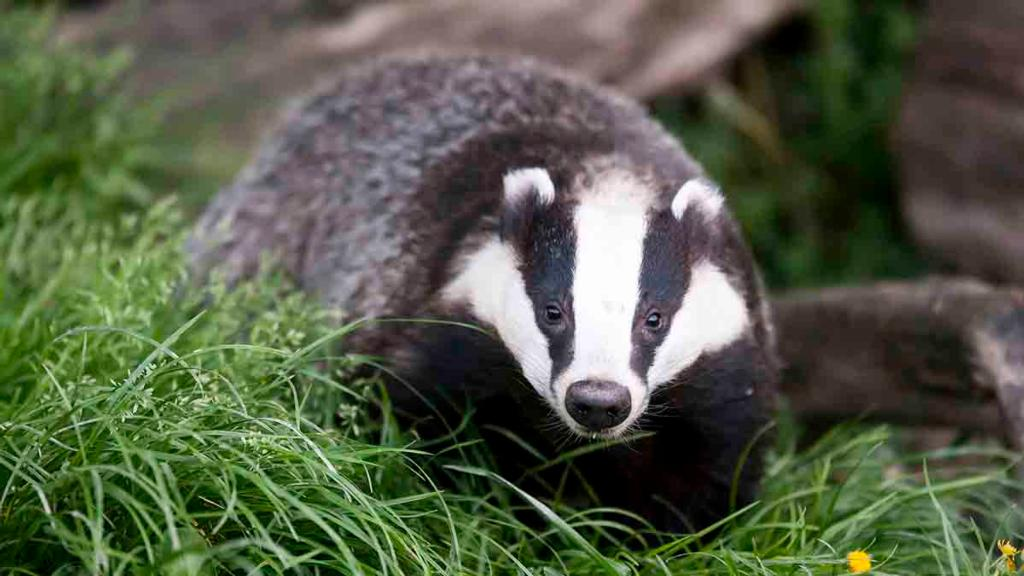 One in five roadkill badgers tested positive for bovine TB