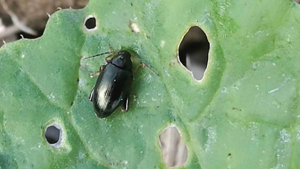 Top tips for monitoring cabbage stem flea beetle this autumn