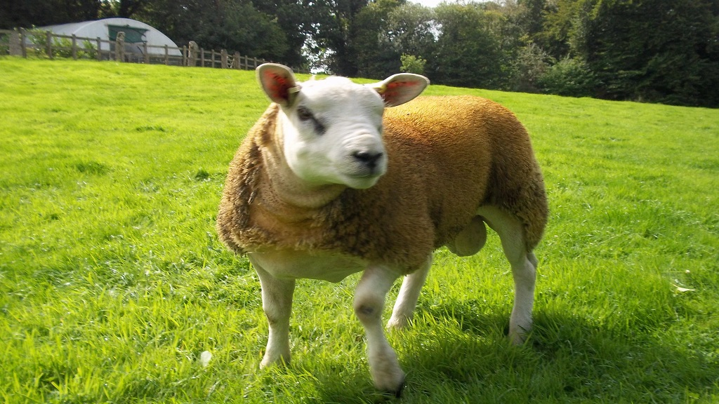 Farming family devastated after 'heartless' thieves steal new pedigree ram