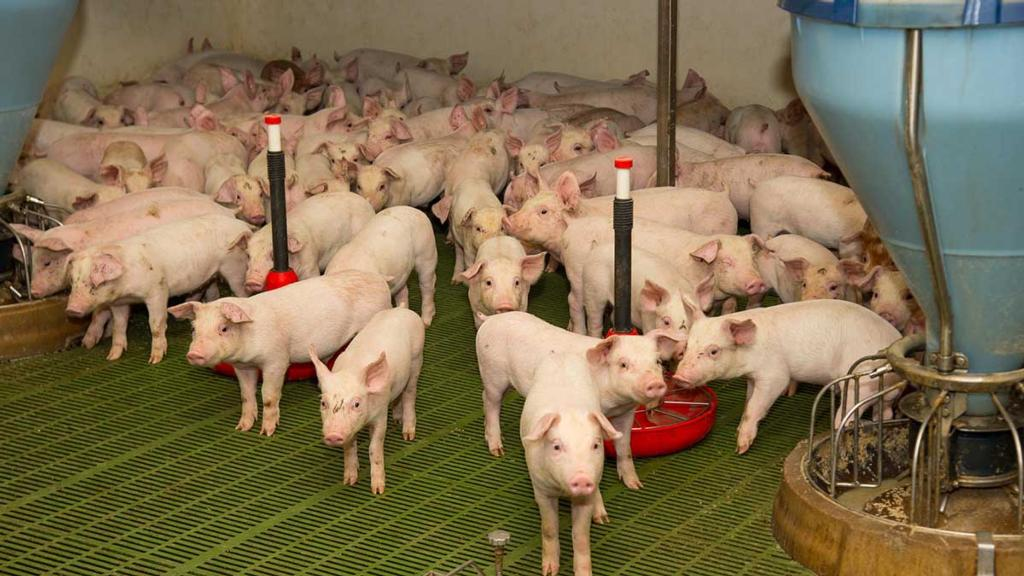 Piglets arr tagged and weighed on weaning.