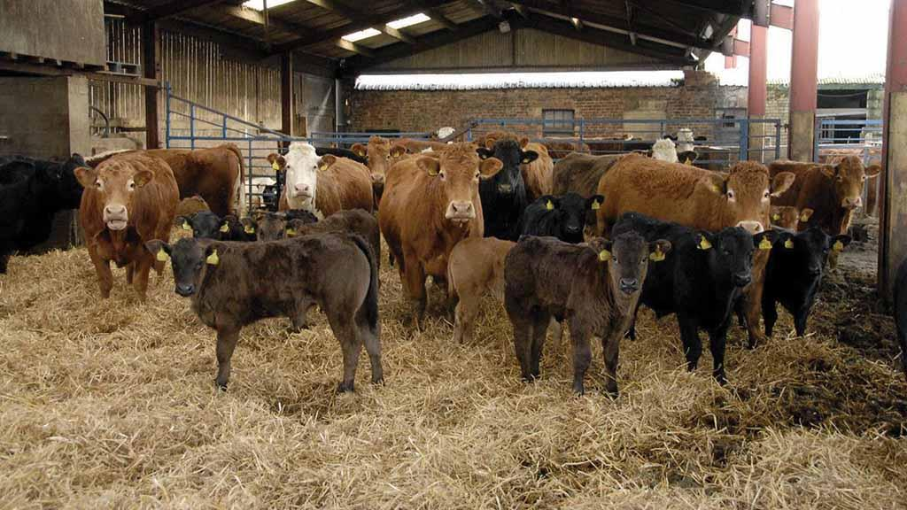 Beef special: Managing the weaning of spring-born suckled calves