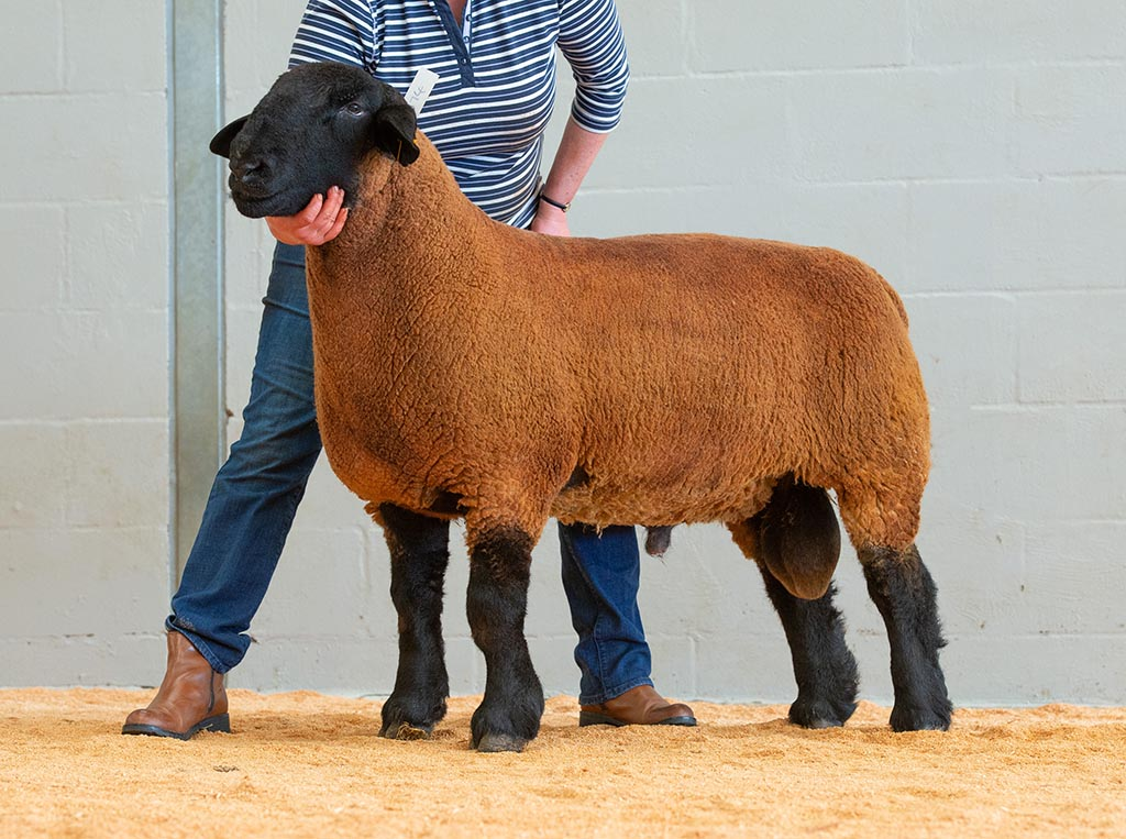 John Pryce's champion Suffolk, topped the breed at 900gns