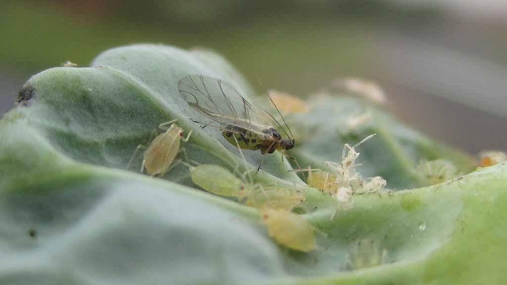 Aphids predicted to fly two weeks earlier in 2019 after milder winter